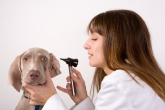 A Vet Tech giving a young dog an ear check-up.