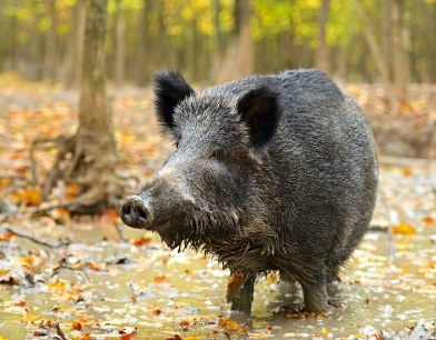 A wild pig under the temporary care of a zoologist.