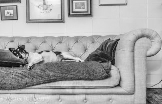 smooth fox terrier on a couch
